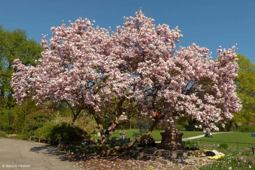 Magnolienbaum