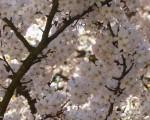 Blühende Sträucher, Prunus x yedoensis, Japanische Blütenkirsche