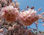 Zartrosa leuchtende Blüten