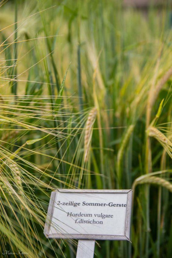 Sommer Gerste, Hordeum vulgare f.distichon